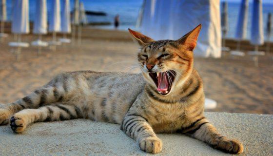 Порода кошек сококе