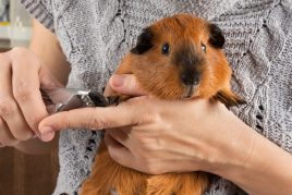 Правила стрижки ногтей у морских свинок